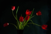 Tulipanes_1_[Juliolm].jpg